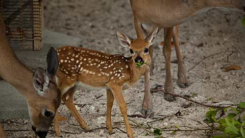 A young deer with two older deer